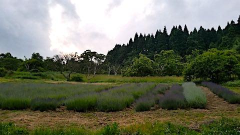 2018062120ラベンダー畑の様子3