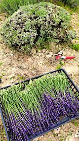 20180622早咲きラベンダーの収穫3