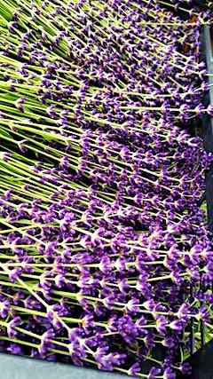 20180622早咲きラベンダーナナ成沢の収穫1