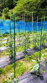 20180623野菜畑の様子