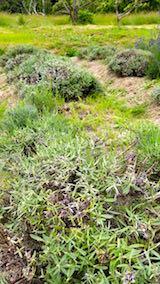 20180623収穫前の早咲きラベンダーナナ成沢の列
