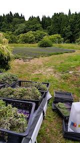 20180623収穫した早咲きラベンダー2