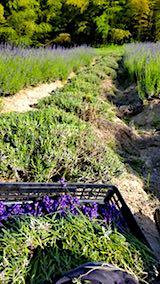 20180625早咲きラベンダーこいむらさきの収穫途中の様子2
