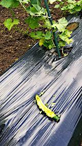 20180630野菜畑キュウリの被害