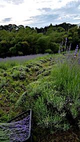 20180630収穫途中の中咲きラベンダーおかむらさきの列1