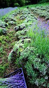 20180630収穫途中の中咲きラベンダーおかむらさきの列2