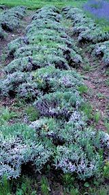 20180630収穫後の中咲きラベンダーおかむらさきの列1