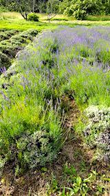 20180701収穫前の中咲きラベンダーおかむらさきの列1