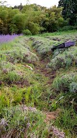 20180701収穫後の中咲きラベンダーおかむらさきの列