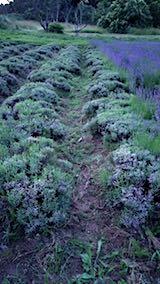 20180701収穫後の中咲きラベンダーおかむらさきの列1