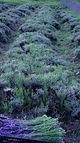 20180701収穫後の中咲きラベンダーおかむらさきの列2