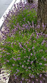 201807044歩道の早咲きラベンダーこいむらさきの刈り込み前3