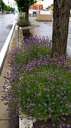 20180704歩道の早咲きラベンダーこいむらさきの刈り込み前1