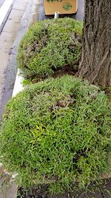 20180704歩道の早咲きラベンダーこいむらさきの刈り込み後3
