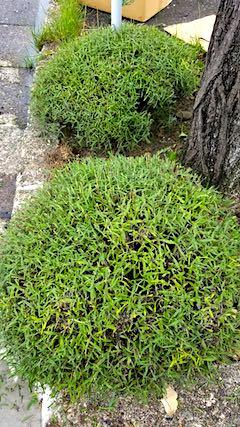 20180704歩道の早咲きラベンダーこいむらさきの刈り込み後4