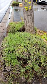 20180704歩道の早咲きラベンダーこいむらさきの刈り込み後8
