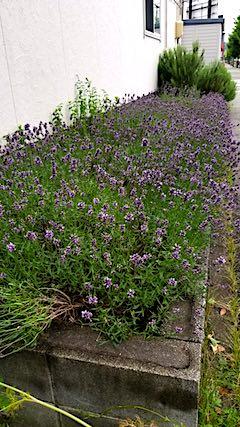 20180705お隣さんの早咲きラベンダーこいむらさきの刈り込み前2