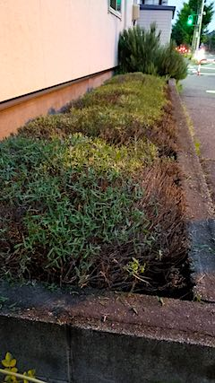 20180705お隣さんの早咲きラベンダーこいむらさきの刈り込み後2
