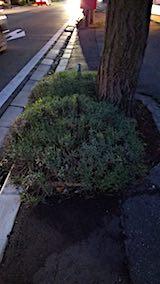 20180705外の様子歩道の早咲きラベンダーこいむらさき