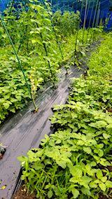 20180706野菜畑の草取り前の様子2