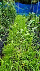 20180706野菜畑の草取り前の様子4