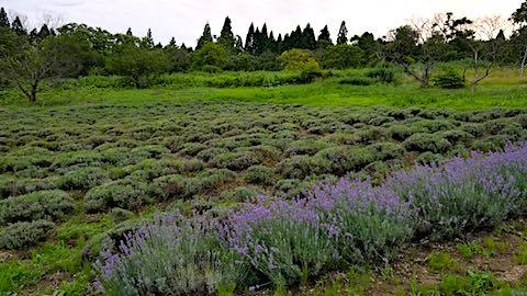 20180709遅咲きラベンダーはなもいわ収穫前の畑の様子