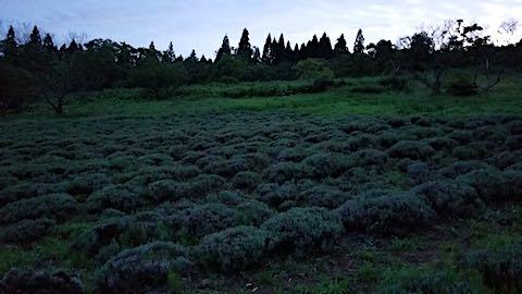 20180709遅咲きラベンダーはなもいわ収穫後の畑の様子