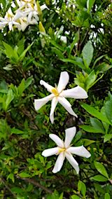 20180713白くて甘い花