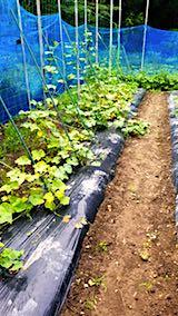 20180718野菜畑の様子2