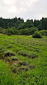20180718草に埋もれ始めたラベンダー畑1
