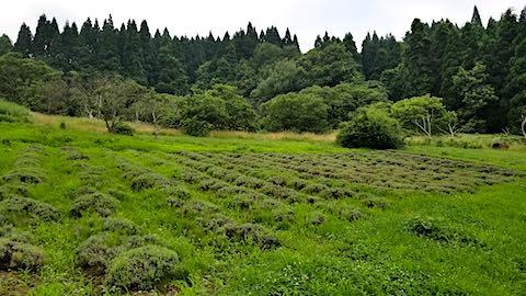20180718草に埋もれ始めたラベンダー畑2