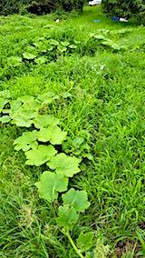 20180718草に埋もれ始めたカボチャ畑