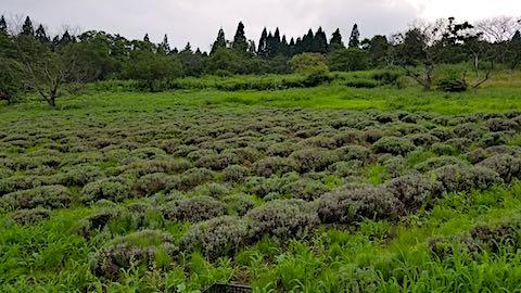 20180718草に埋もれ始めたラベンダー畑3