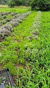 20180718草に埋もれ始めたラベンダー畑4