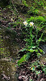 20180718山からの帰り道の様子峠道に咲くユリの花