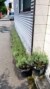 20180719お店前の鉢植えラベンダー