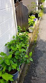 20180719お店前の鉢植えハイビスカス