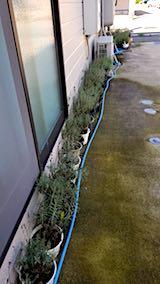 20180727鉢植えラベンダーの刈り込み前の様子1