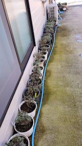 20180727鉢植えラベンダーの刈り込み後の様子1