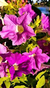 20180814光り輝くペチュニアの花