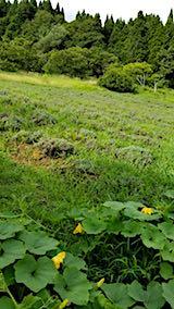 20180827ラベンダー畑の草刈り前の様子2