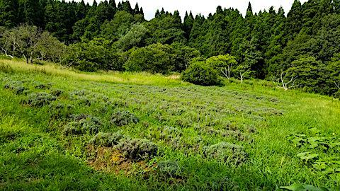 20180827ラベンダー畑の草刈り前の様子4