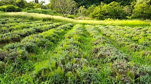 20180827ラベンダー畑の草刈り前の様子5