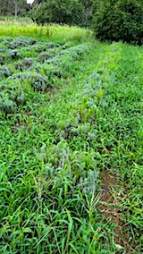 20180827ラベンダー畑の草刈り前の様子6