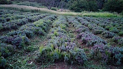 20180827ラベンダー畑の草刈り後の様子5