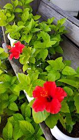 20180912ハイビスカスの花