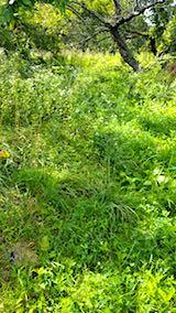 20180912栗畑の下草刈り前の様子2