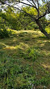 20180912栗畑の下草刈り後の様子2