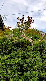 20180916山へ向かう途中の様子萩の花