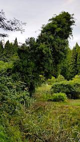 20180928山の様子傾く杉の木1